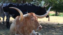 Champion Texas Longhorn Steer Relaxes, Other Behind