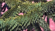 Araucaria(Monkey Puzzle)Tree--Isla Chiloe, Chile