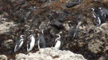Magellan Penguins--Isla Chiloe, Patagonia, Chile