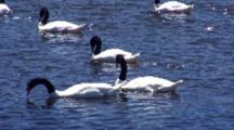 Several Black Necked Swans Feeding On Seaweed