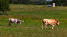 2 Texas Longhorn Steers Walk, Graze Thru Pasture