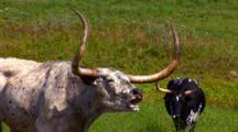 Texas Longhorn Steer Poses, Chews On Grass