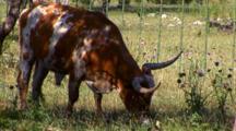Texas Longhorn Steer Grazes In Pasture