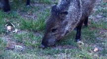 Grp Collared Peccaries Feeding, One Raising Hackles