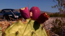 Fruit Of Prickly Pear Cactus (Span.-Tuna)