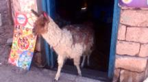 Llama Inside Small Shop