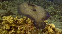 Peacock Flounder Swims(Undulates), Skimming The Reef