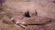 Closeup Peacock Flounder's Head, Eyes