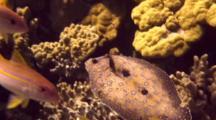 Peacock Flounder Swims Thru School Goatfish