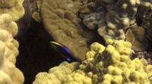 Hawaiian Cleaner Wrasse Flits Around Lobe Coral