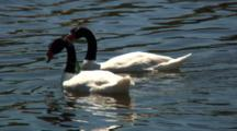 Pair Black-Necked Swans Feed On Seaweed