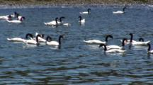 Group Black-Necked Swans, Incl 2 Chicks, Feed On Seaweed