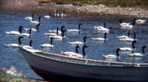 Flock Black-Necked Swans Swim In Bay