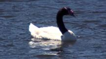 Black-Necked Swan Feeds On Seaweed In Bay
