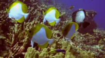 Group Pyramid Butterfly Fish Gather To Be Cleaned By Cleaner Wrasse