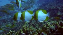 Pyramid Butterflies(Hemiaurichthys Polylepsis)Cleaned By Hawaiian Cleaner Wrasse