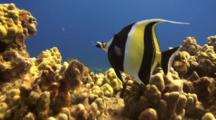 Moorish Idol Uses Elongated Mouth To Feed Tight Places