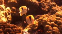 Teardrop Butterflies Feeding On Cauliflower Coral Algae