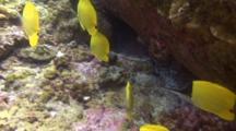 Group Longnose Butterflies Patrol Reef For Food