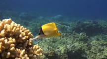 Longnose Butterfly Feeds Cauliflower Coral(Good Light!)