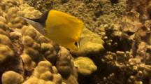 Longnose Butterfly Looks For Food In Sand And Coral