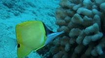 Longnose Butterfly Feeds On Cauliflower Coral
