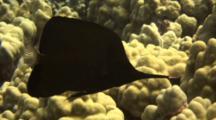 Black Longnose Butterfly Feeds In Lobe Coral
