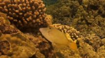 Barred Filefish Feeding On Cauliflower Coral