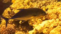 Bluefin Trevally Swims Close To Camera While Hunting