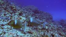 Pair Unicorn Surgeonfish Feeding In Coral Rubble