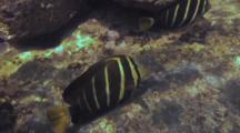 Sailfin Tang Eating Algae In Shallow Water-Raises Sail