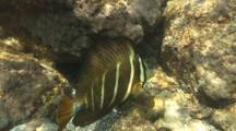 2 Sailfin Tang Eating Algae In Shallow Water