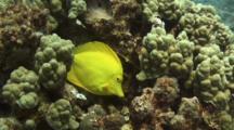 Yellow Tang Nibbles Coral Algae