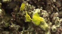 3 Juvenile Yellow Tangs Swim In Finger Coral