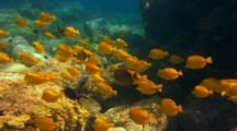 School Yellow Tangs Travel Across Shallow Reef