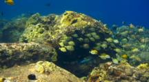 Variety Surgeonfish Search For Food On Shallow Reef