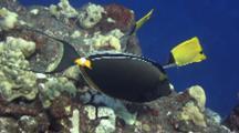 Orangespine Surgeonfish Feeding Atop Lava Pinnacle