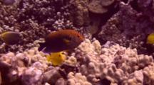 Colorful Potter´S Angelfish Swims Just Above Finger Coral