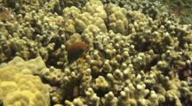 Pair  Potter's Angelfish Swim Just Above Finger Coral