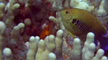 Potter's Angel And Flame Angel In Finger Coral
