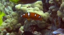 Juv Yellowtail Wrasse Among Other Reef Fish