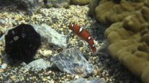 Juv Yellowtail Wrasse Explores And Feeds