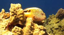 Camera Slowly Approaches Blackside Hawkfish