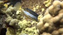 Adorable Whitley's Boxfish(Fem) Flits Around Coral