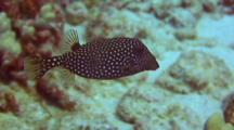 Fem Spotted Boxfish Feeding, Staying Close To Coral