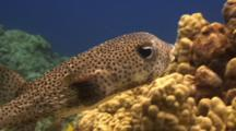 Spotted Porcupinefish Swims Close To Reef