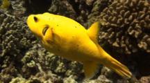 Rare(In Hawaii)Yellow Puffer Hunting On Reef