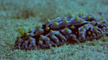 Fried Egg Nudibranch Glides Slowly Over Sand