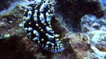 Colorful Slug Moves Very Slowly Over Coral