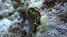 Tiger Flatworm Climbs Up Lobe Coral